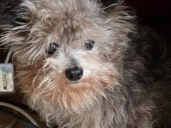 Lulu, chien