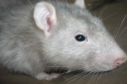 Lulu, rongeur Rat