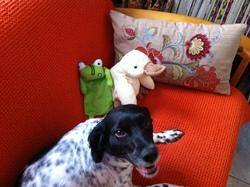 Lulu, chien Épagneul breton