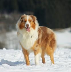 Lulu, chien Berger australien