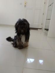 Lùlu, chien Shih Tzu