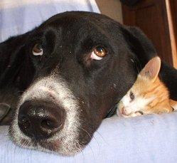 Lulu, chien Basset Hound