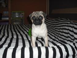 Lulu, chien Carlin