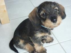 Lulu, chien Teckel