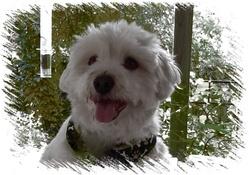 Lulu, chien Coton de Tuléar