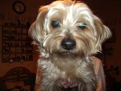 Lulu, chien Yorkshire Terrier
