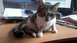 Lulue, chat Européen