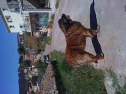 Lume, chien Leonberger