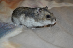Lumi, rongeur Hamster