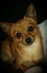 Lumia, chien Pinscher