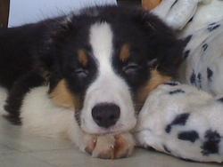 Luna, chien Berger australien