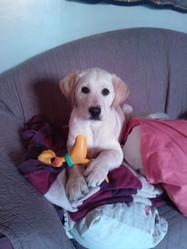 Luna , chien Labrador Retriever