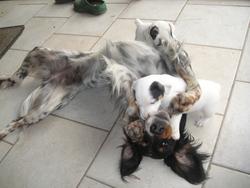 Luna, chien Setter anglais