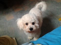 Luna, chien Bichon à poil frisé