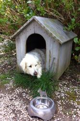 Luna, chien Berger de Maremme et des Abruzzes