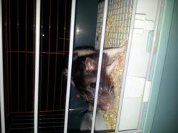 Luna, rongeur Rat