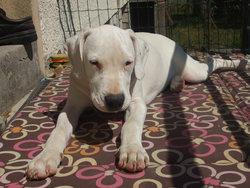 Luna, chien Dogue argentin