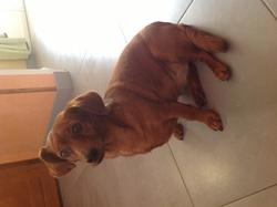Luna, chien Teckel