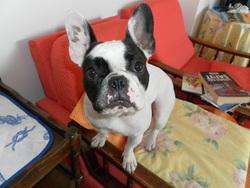 Luna, chien Bouledogue français
