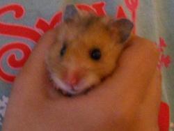 Luna, rongeur Hamster
