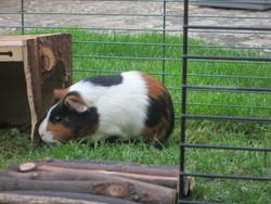 Luna, rongeur Cochon d'Inde