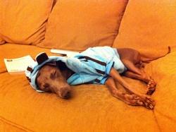 Luna, chien Petit Lévrier italien