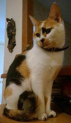 Luna, chat Européen