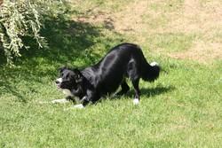 Luna, chien Border Collie