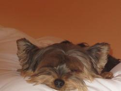 Luna, chien Yorkshire Terrier