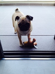 Luna, chien Carlin