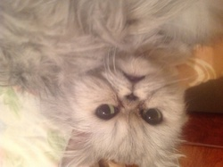 Luna , chat Persan