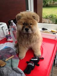 Luna, chien Chow-Chow