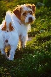 Luna, chien Jack Russell Terrier