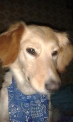 Luna, chien Golden Retriever