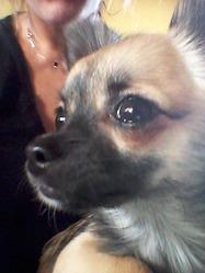 Luna, chien Chihuahua