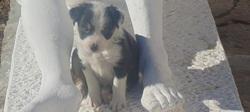 Luna , chien Border Collie