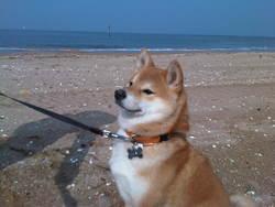 Luna, chien Shiba Inu