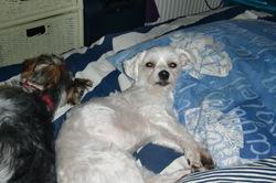 Luna, chien Bichon maltais