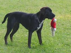 Luna, chien Boxer