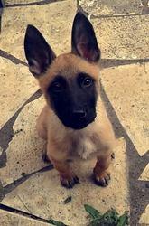 Luna, chien Berger belge