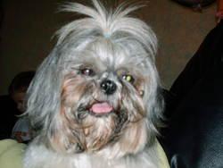 Luna, chien Shih Tzu