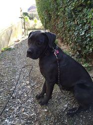 Luna, chien Cane Corso