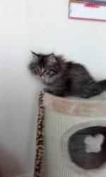Luna, chat Norvégien