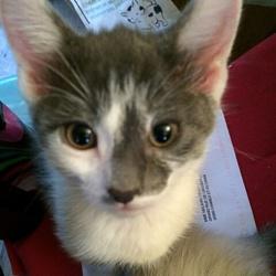 Luna, chat Angora turc