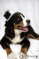 Luna, chien Bouvier bernois