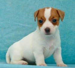 Luna, chiot Jack Russell Terrier