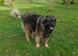 Luna, chien Leonberger