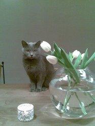 Luna, chat Chartreux