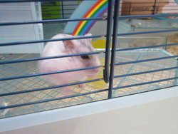 Lune, rongeur Hamster