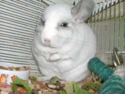 Lune, rongeur Chinchilla